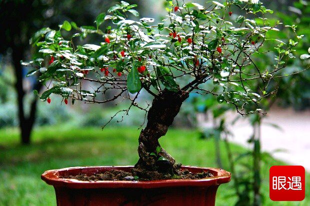 Potted Cultivation Technology Of Goji Berry Union Sure From China